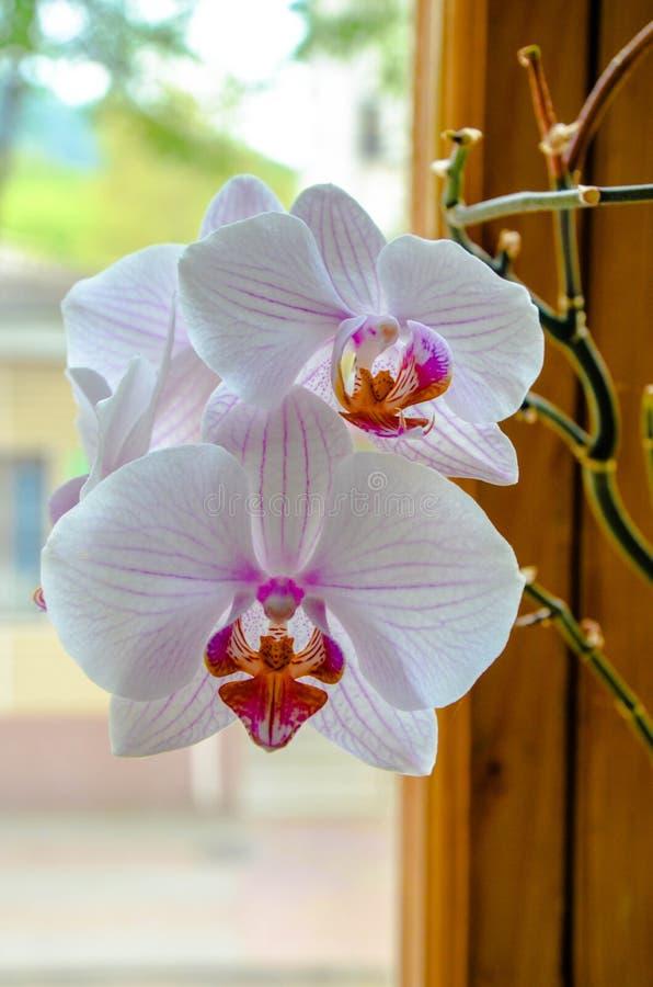 Flor bonita da orquídea perto da janela imagens de stock