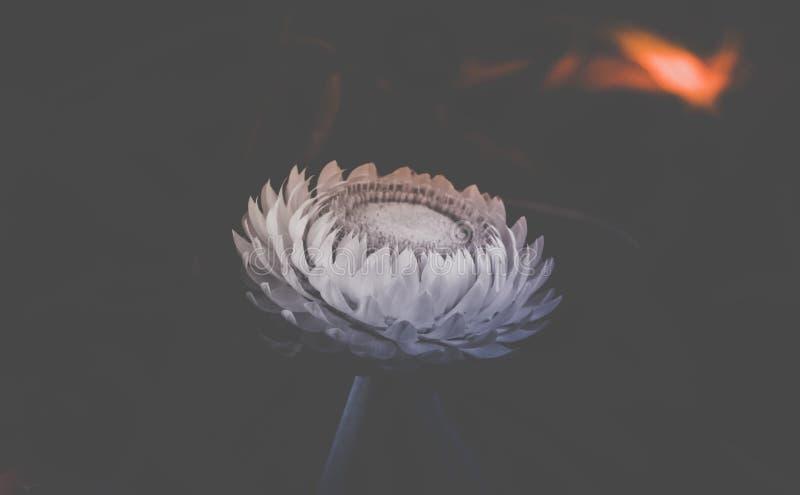Flor bonita da palha no tom preto e branco foto de stock