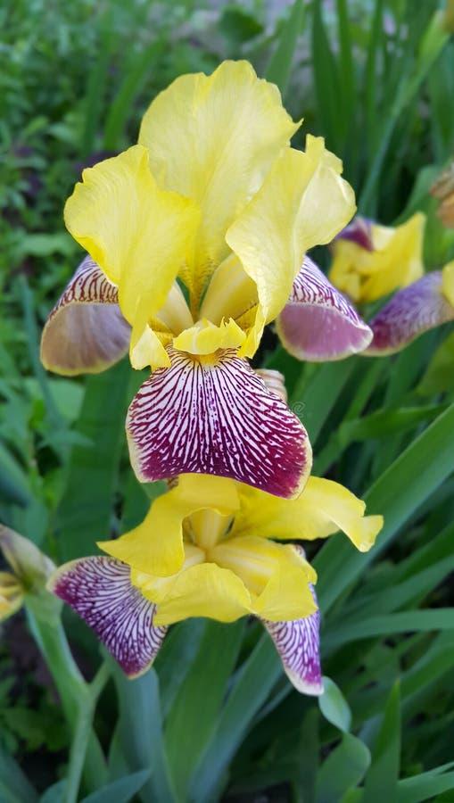 Flor bonita da ?ris fotos de stock royalty free