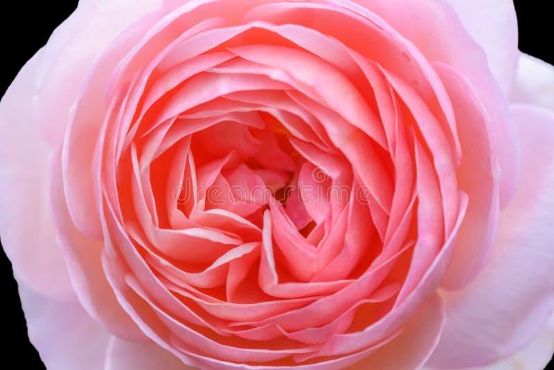 Flor bonita da rosa do rosa do close-up imagem de stock