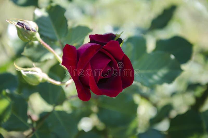 Flor bonita da rosa perfumada no jardim imagem de stock royalty free