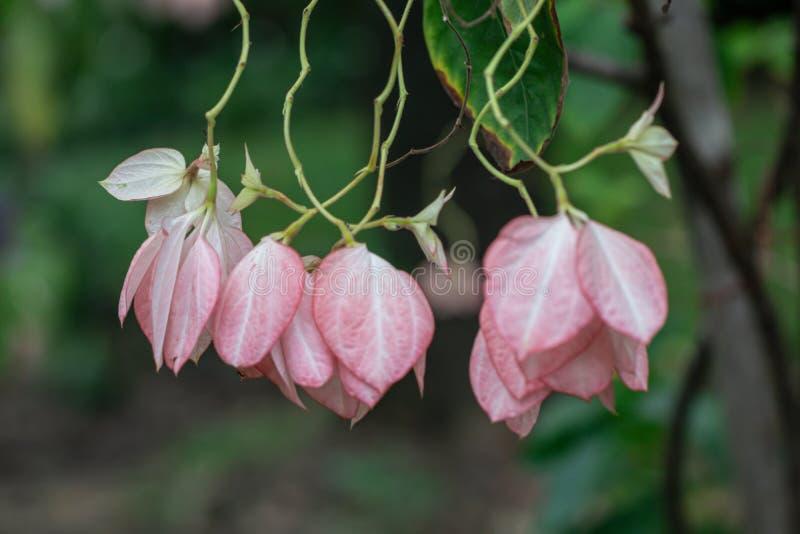 Flor bonita de Donna em um jardim Mussaenda Philippica 'rainha Sirikit ' imagem de stock