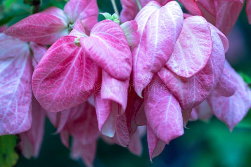 Flor bonita de Donna em um jardim Mussaenda Philippica 'rainha Sirikit ' imagem de stock royalty free