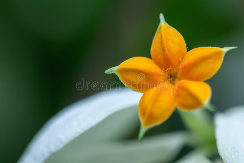 Flor bonita de Donna em um jardim Mussaenda Philippica 'rainha Sirikit ' fotografia de stock