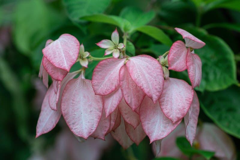 Flor bonita de Donna em um jardim Mussaenda Philippica 'rainha Sirikit ' imagens de stock royalty free