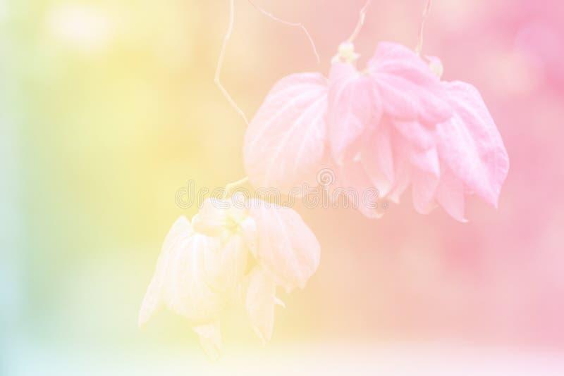 Flor bonita de Donna em um jardim Mussaenda Philippica 'rainha Sirikit ' fotos de stock royalty free