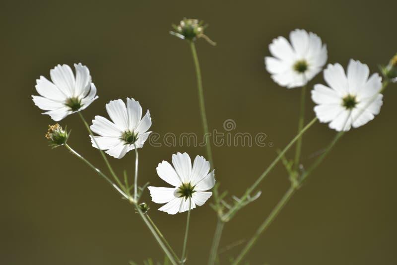 Flor bonita de Galsang foto de stock