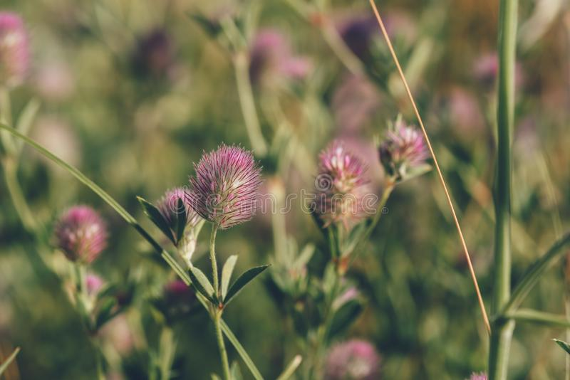 Flor bonita de Hare' trevo de s-pé foto de stock