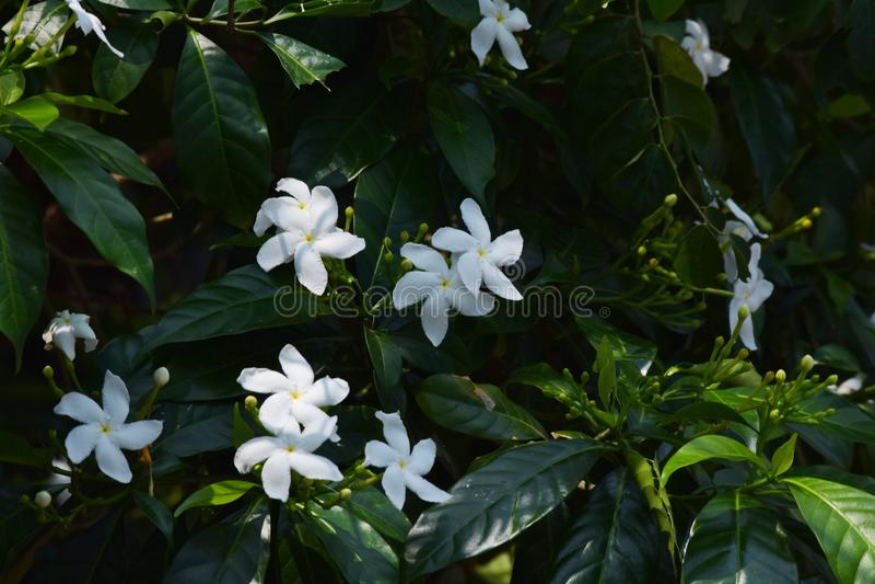 Flor bonita de Jasmine NandyarvattamPinwheel do crepe fotografia de stock