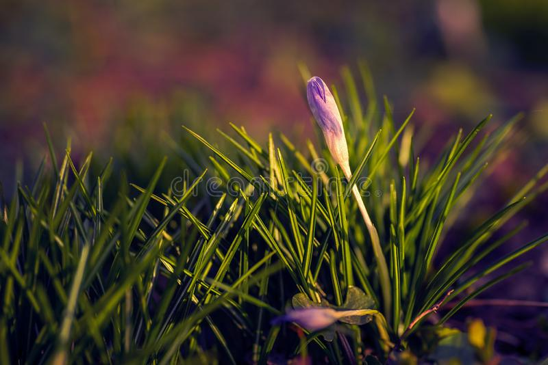 Flor bonita do açafrão disparada com um fim macro da lente acima com uma Web de aranha pequena na ponta das pétalas fotos de stock
