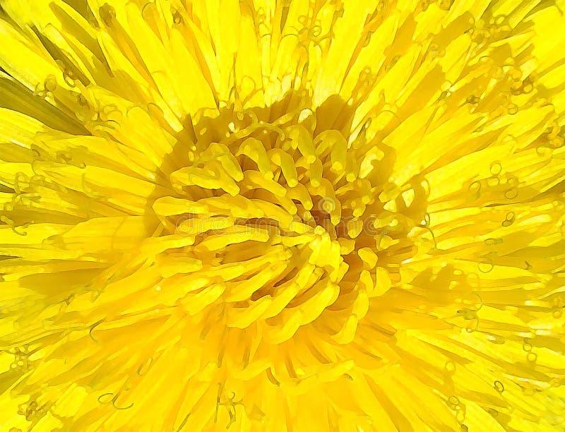 Flor bonita do amarelo da imagem de fundo do dente-de-leão e seus muitos pétalas e estames foto de stock royalty free