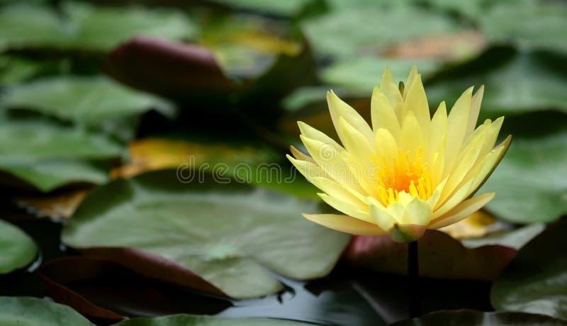 Flor bonita do amarelo dos lótus fotos de stock