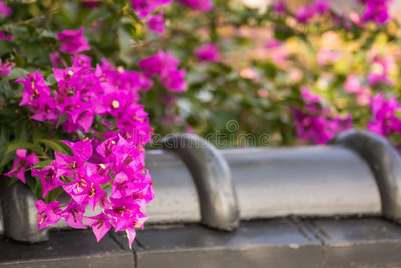 Flor bonita do bougainvillea foto de stock