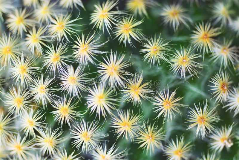 Flor bonita do cacto que floresce como o fundo imagens de stock royalty free