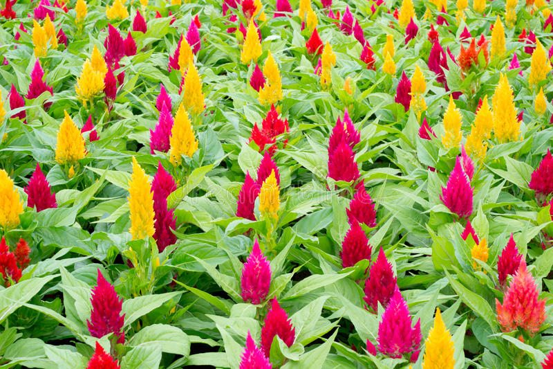 Download Flor do Celosia imagem de stock. Imagem de easter, floral - 29840223