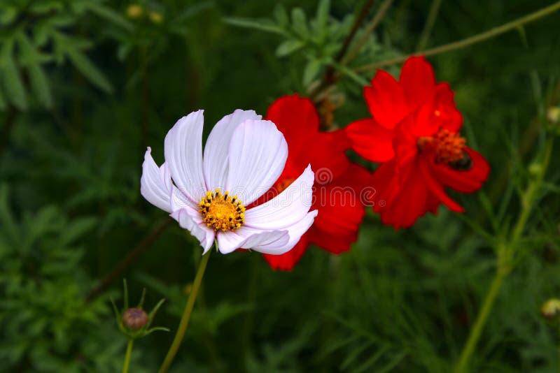 Flor bonita do cosmos foto de stock royalty free