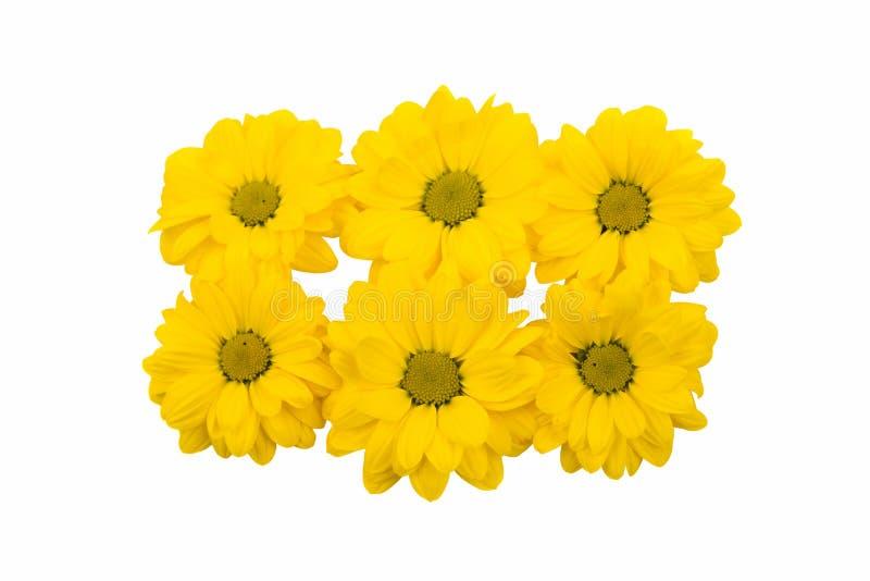 Flor bonita do crisântemo fotografia de stock
