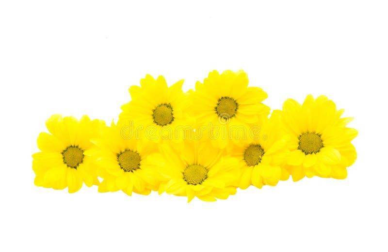 Flor bonita do crisântemo imagem de stock