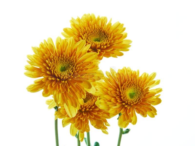 Flor bonita do crisântemo isolada imagem de stock royalty free