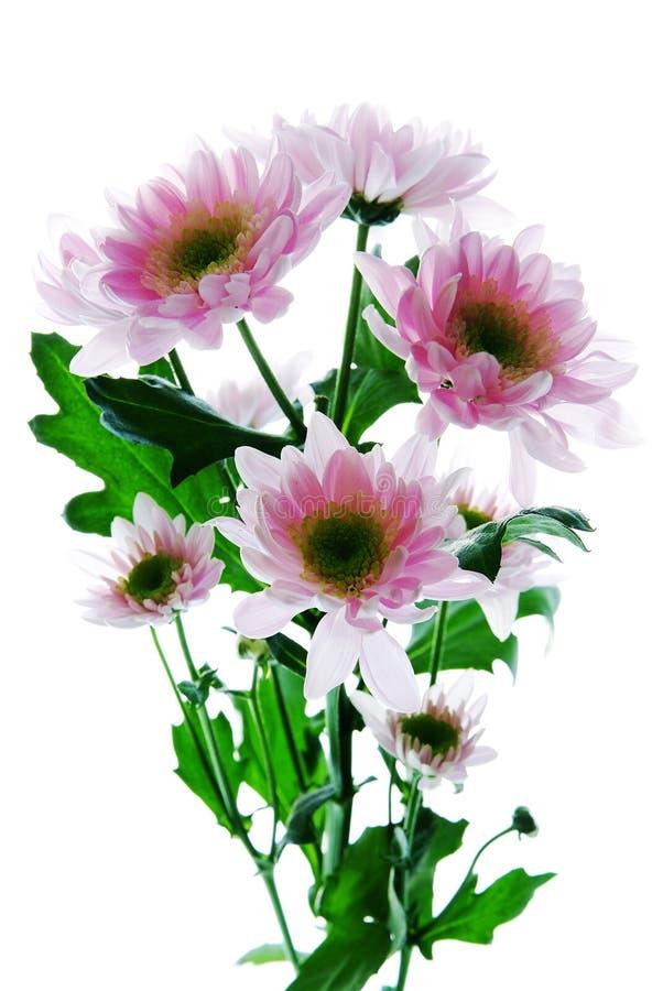 Flor bonita do crisântemo isolada foto de stock