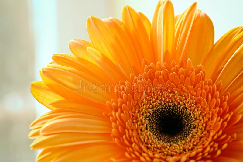 Flor bonita do gerber foto de stock royalty free