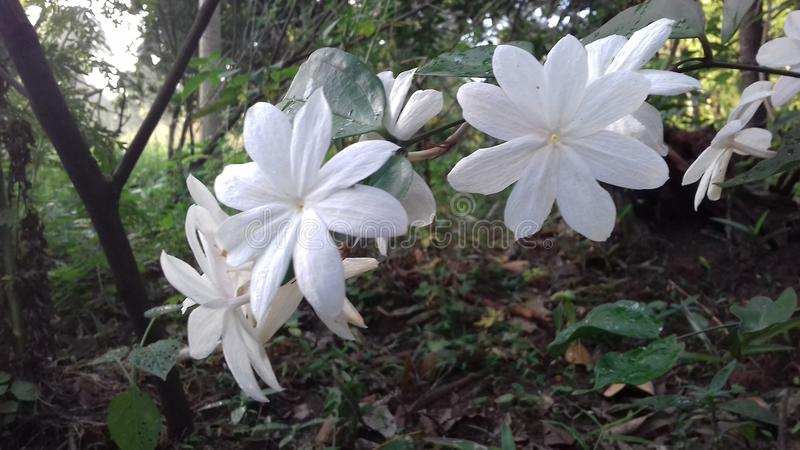 Flor bonita do jasmim de Sri Lanka fotos de stock royalty free