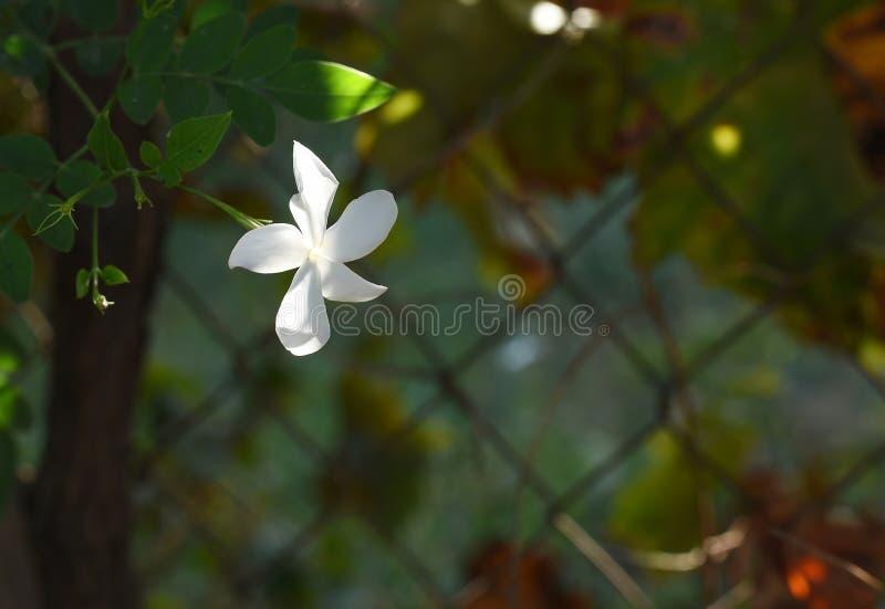Flor bonita do jasmim em Malaga, Espanha fotos de stock royalty free