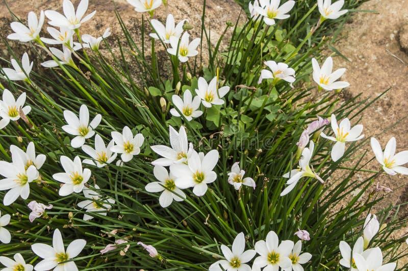 flor bonita do lírio da chuva fotografia de stock