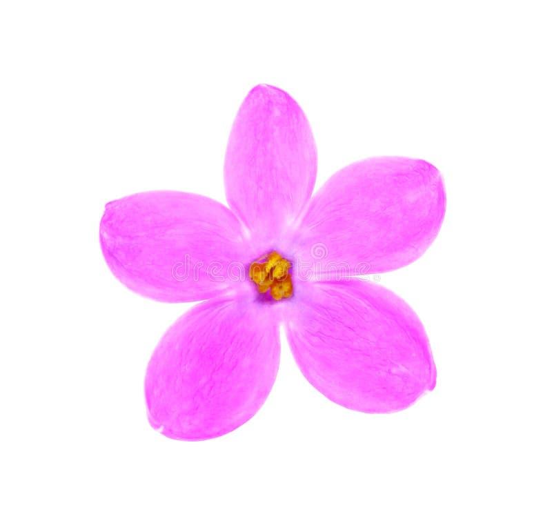 Flor bonita do Lilac foto de stock royalty free