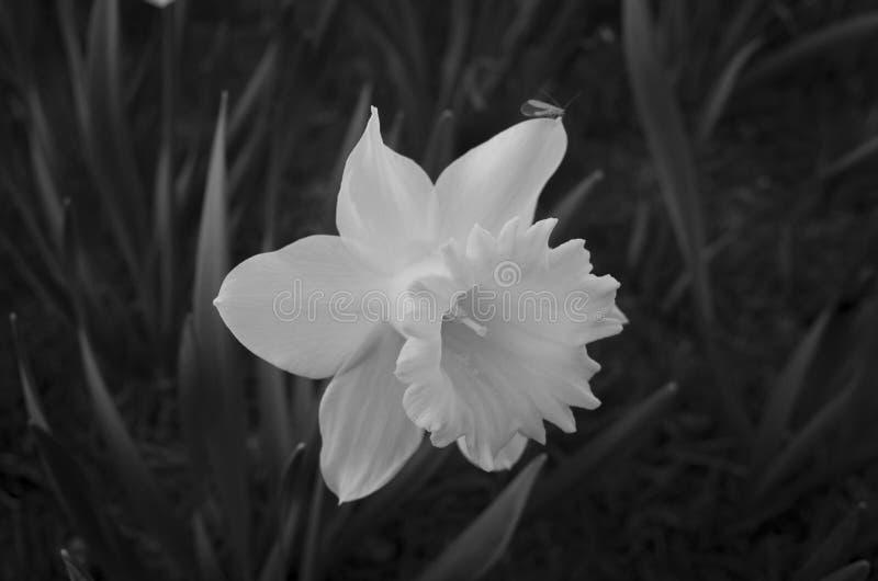 Flor bonita do narciso amarelo em preto e branco imagens de stock
