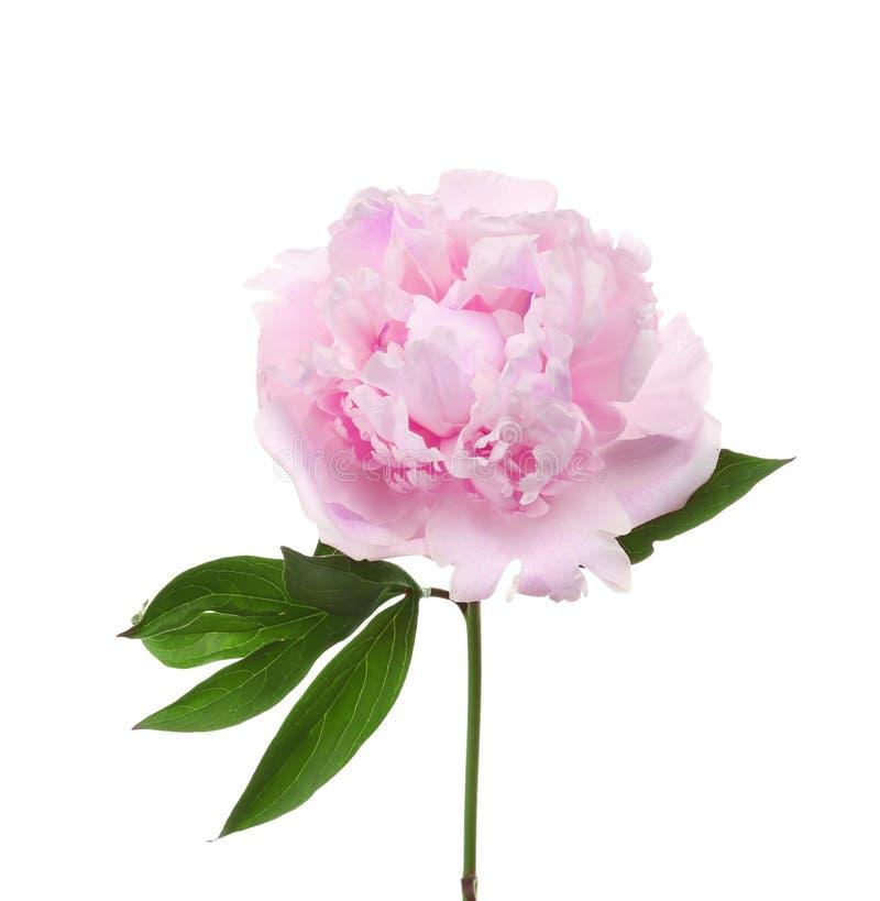 Flor bonita do peony foto de stock