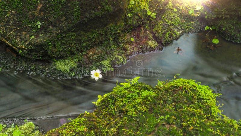 Flor bonita do Plumeria dentro de um córrego pequeno do rio com ambiente de cerco da floresta úmida e efeito morno da luz solar fotografia de stock