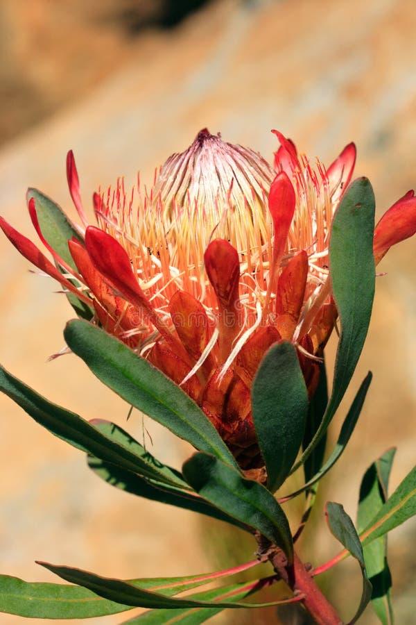 Flor bonita do protea imagem de stock royalty free