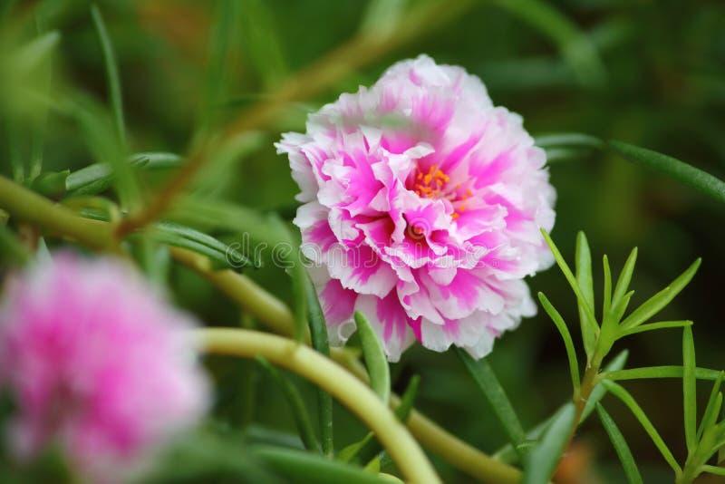 Flor bonita do purslane comum no jardim fresco foto de stock royalty free