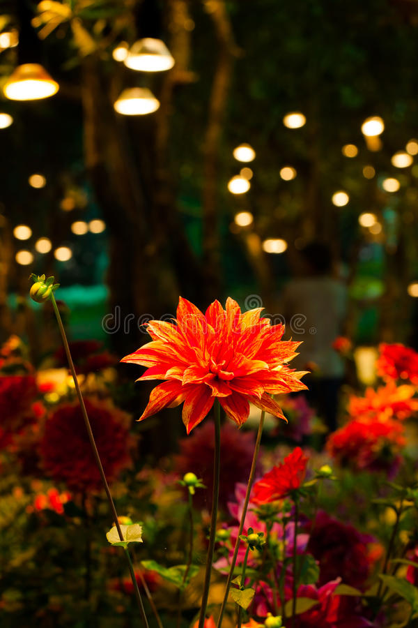 Flor bonita do rosea da dália com luz da lâmpada na noite fotos de stock