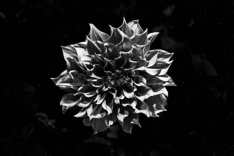 Flor bonita do rosea da dália do close-up no jardim da noite foto de stock