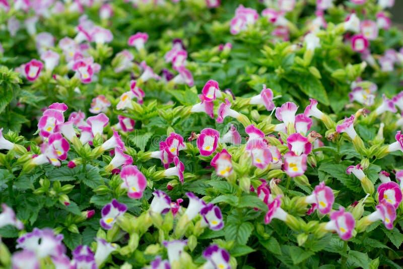 Download Flor de Torenia foto de stock. Imagem de roxo, horticulture - 29840068