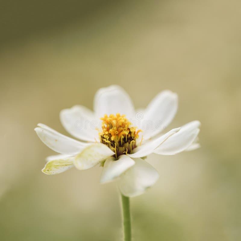 Flor bonita do zinnia branco que floresce contra o fundo verde imagens de stock