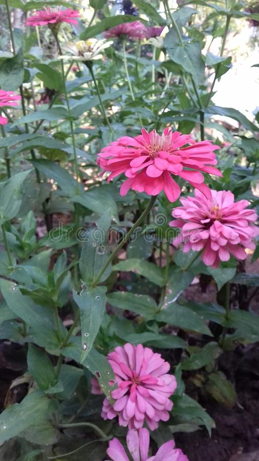 Flor bonita dos siniyas da mimosa de Sri Lanka fotos de stock royalty free