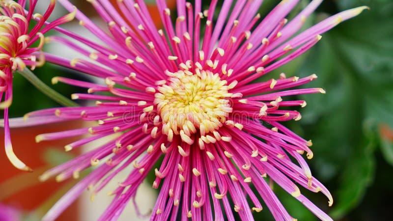 Flor bonita e colorida da flor do crisântemo no outono foto de stock royalty free