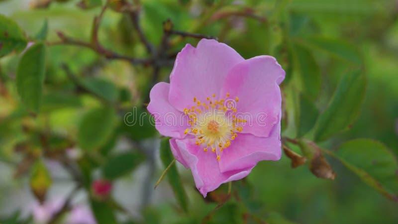 Flor bonita e perfumada incrível do rubiginosa de Rosa no fundo verde da folha O chá fez dos quadris desta rosa é v imagens de stock