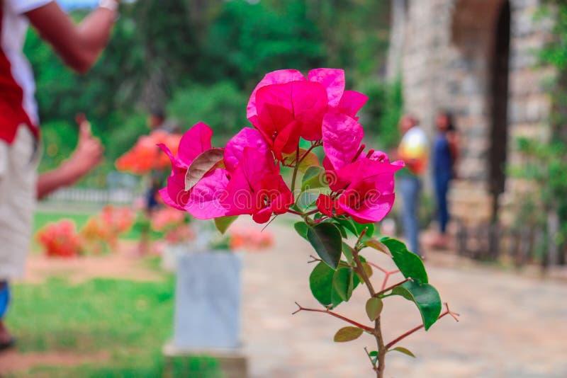 Flor bonita em Sri Lanka fotografia de stock royalty free