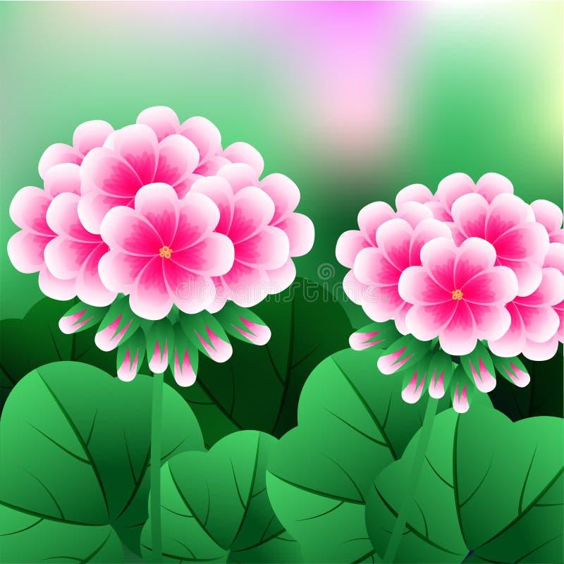 Flor bonita, grupo da ilustração de flores vermelhas bonitas do gerânio ou Pelargonium Graveolens ilustração royalty free