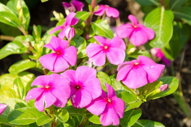 Flor bonita no rama ix Tailândia do suanluang fotos de stock