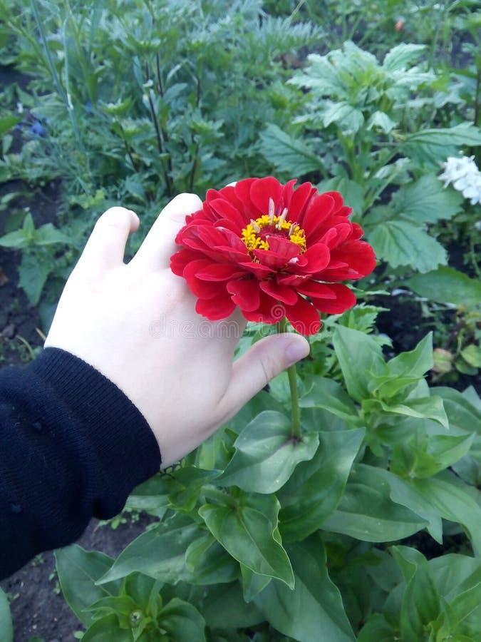 Flor bonita poppy imagem de stock