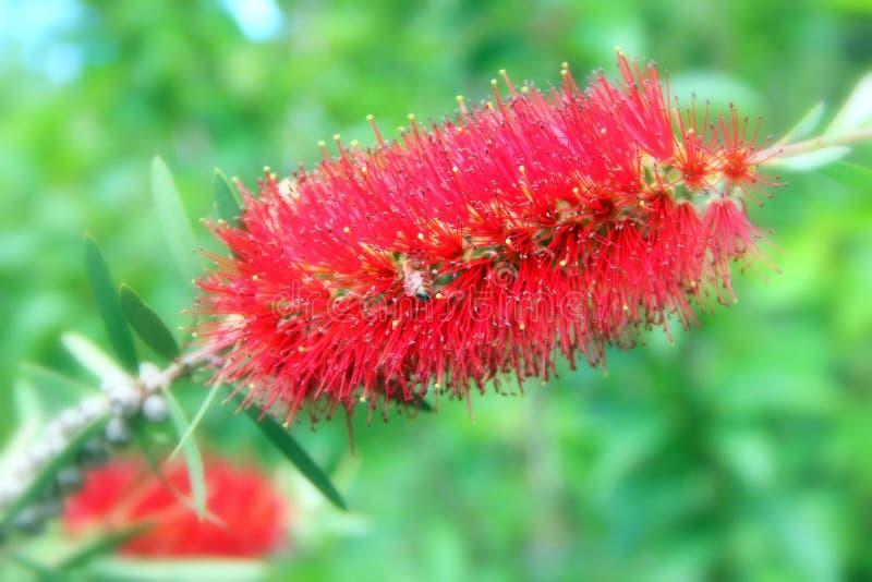 Flor bonita vermelha com uma abelha nela fotos de stock