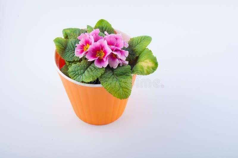 A flor bonito do primerose cresce no potenciômetro plástico alaranjado no fundo branco fotos de stock royalty free