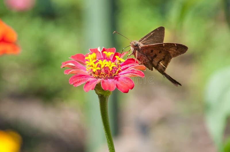 Flor borboleta stock photography