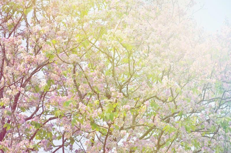 Flor borrosa del arbol de Jupiter de la reina imagen de archivo