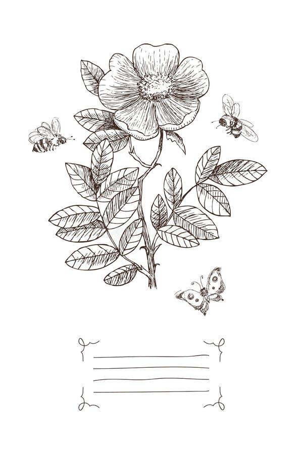 Flor botánica del flor del ejemplo del vintage con el lugar para el texto Salvaje subió, la abeja, mariposa Diseño del vector ilustración del vector